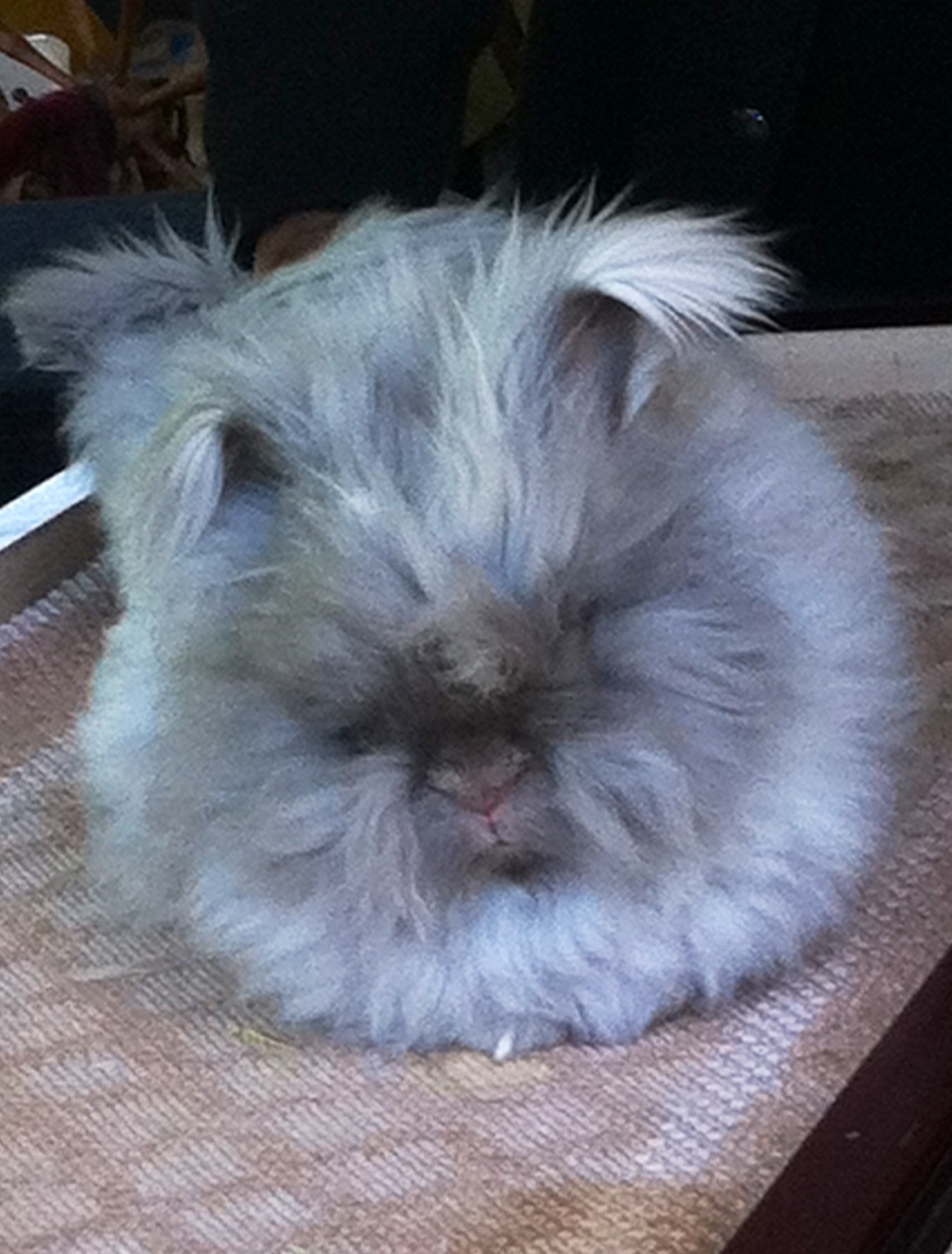 english angora rabbits - photo #44